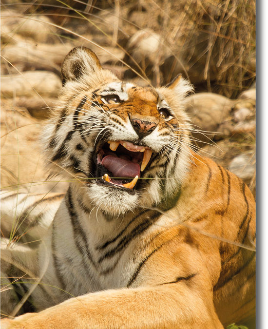 Sharmilee – The Queen Of Bijrani Zone, Corbett National park