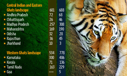 India's tiger population sees 30% increase