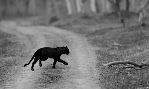 Black panther The phantom of the forest