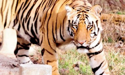 Alive and roaring! Missing tiger Bali spotted in Pench