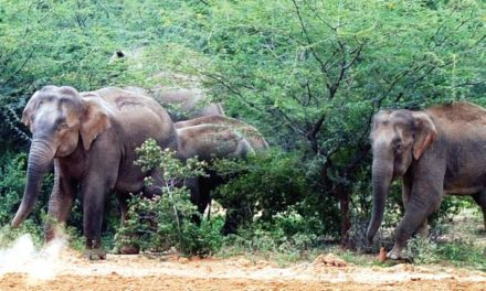 168 elephants sighted in Bhadra wildlife reserve during census