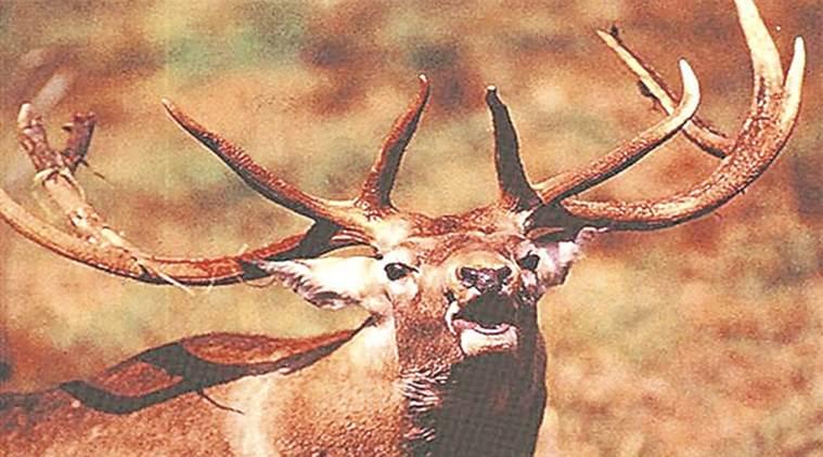 Vanishing Kashmir stag set to get breeding centre