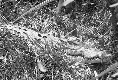 Over 24 crocodile nesting sites spotted in Bhitarkanika