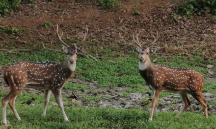 177 more spotted deer sighted this year in Mumbai's Sanjay Gandhi National Park