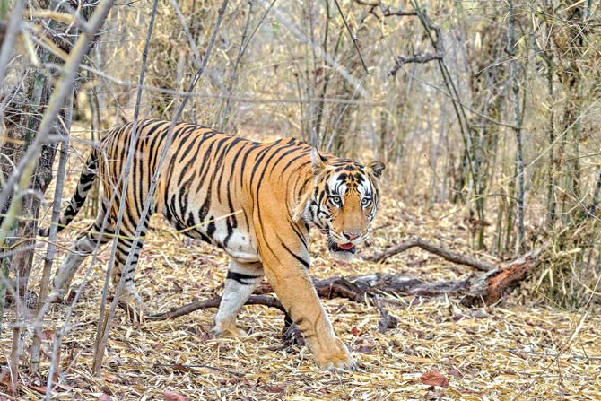 3-year-old tiger walks 125 km from Panna to Bandhavgarh, authorities name him Bahubali 2