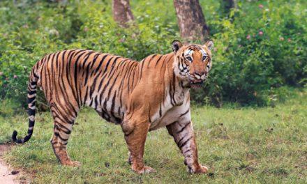 Tiger Census goes digital in Karnataka
