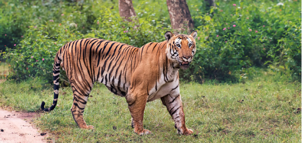 Tiger Census goes digital in Karnataka