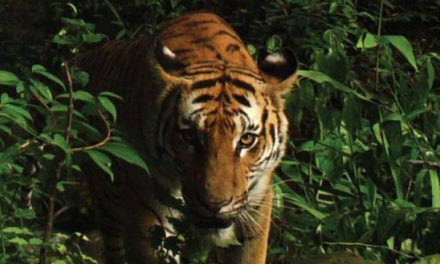 Thailand – the last stronghold of Indo Chinese Tiger