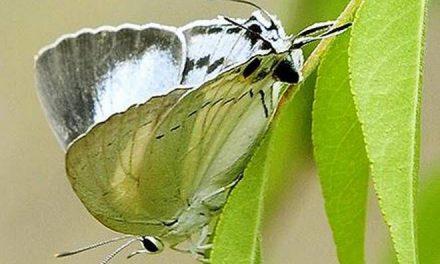 Six new visitors at Srirangam's butterfly conservatory