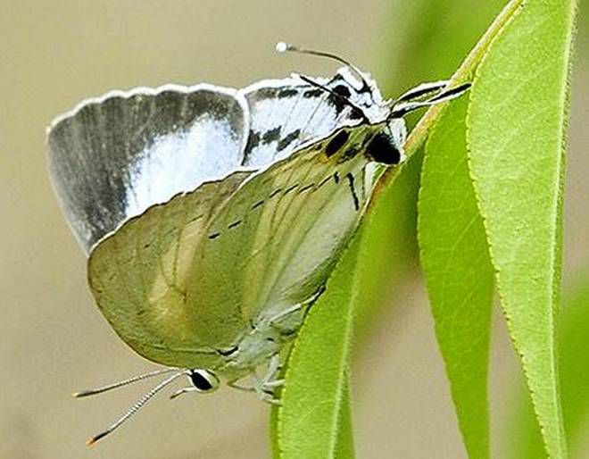 Six new visitors at Srirangam's butterfly conservatory