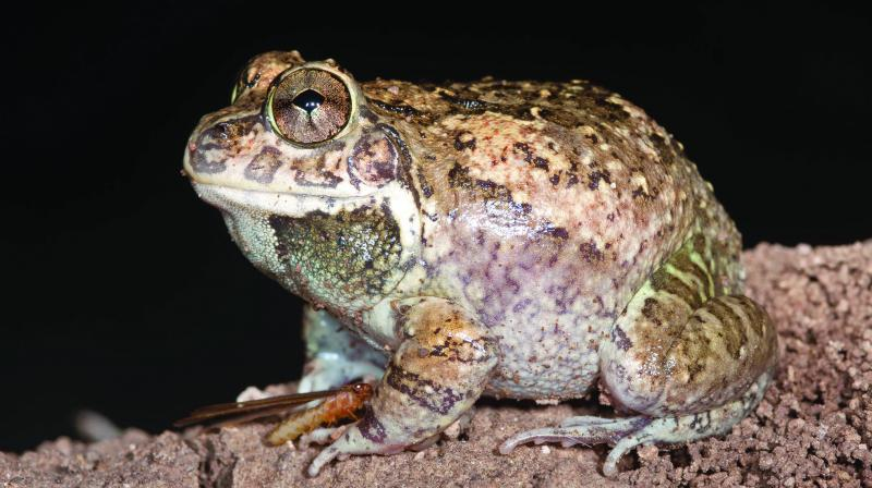 New species of frog found in state again