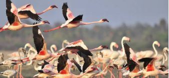 Greater flamingos extend stay in Pulicat