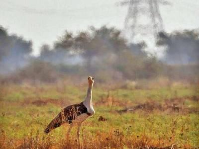 Gujarat to set up its own bustard breeding centre
