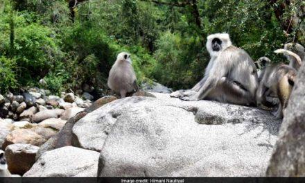 Blog: Adventurous Life Of Langurs In The Himalayas