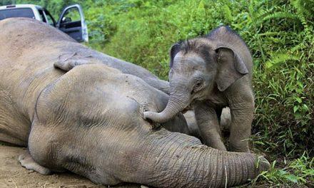 Elephant poaching nosedives