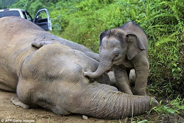 Elephant poaching nosedives