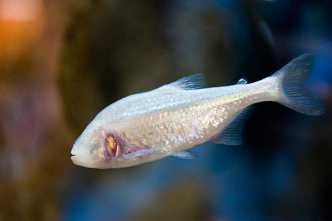 Wildlife: New Species Of Blind Fish Discovered Inside Meghalaya Cave