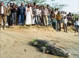 Wildlife NGO rescues crocodile, python in Agra
