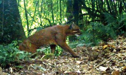Rarely sighted Golden cat clicked in park cameras at Neora Park