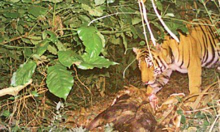 Camera-trap method for counting tigers takes off in Karnataka