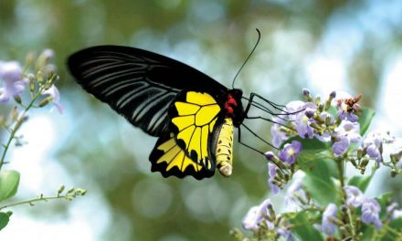 Seeing close: Winged beauties find Munnar home