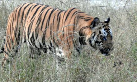 Wild Encounters – Bandhavgarh