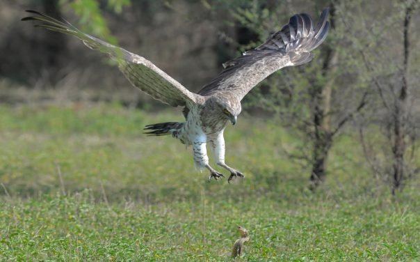 A Life in the day of a Snake Eagle