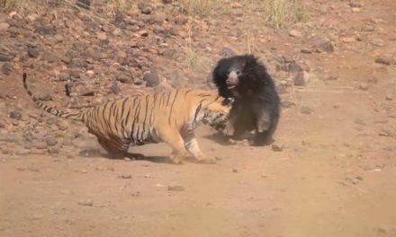 Rumble in the Jungle: Mother Bear Fights off Bengal Tiger