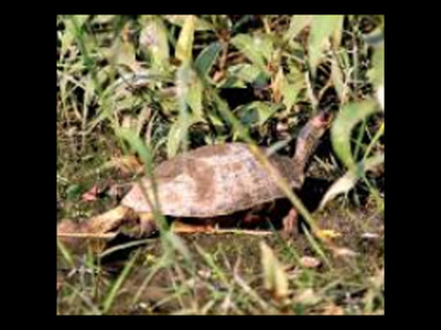 New breeding ground for roofed turtles in North Bengal