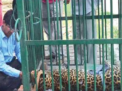 Leopard gets a life-saving ride on motorbike in UP