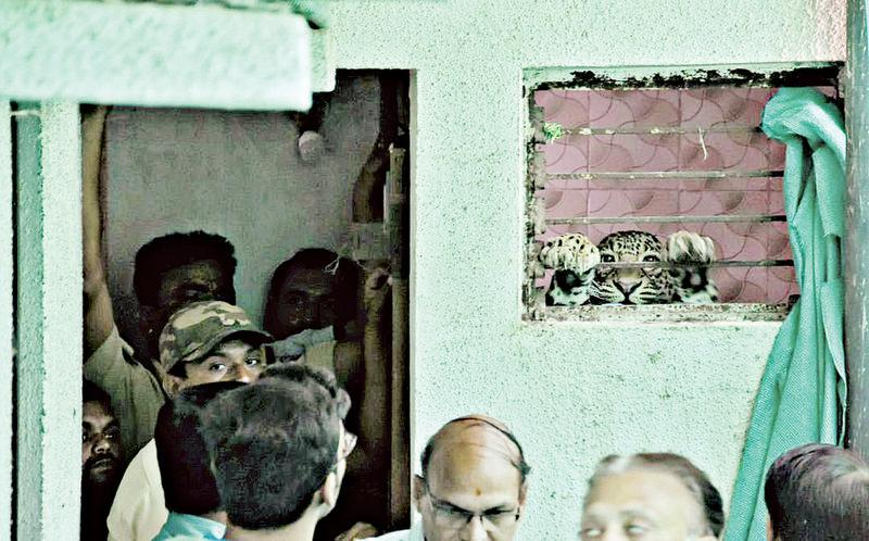Leopard enters bathroom near Hingna, rescued after 5-hour operations
