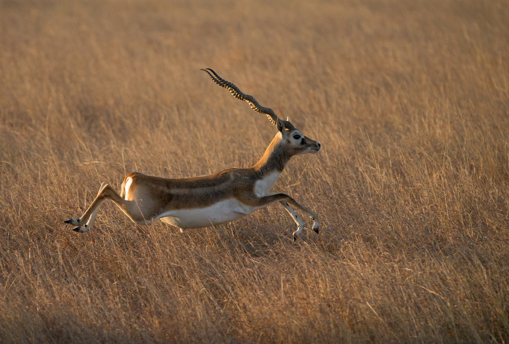 Blackbuck poaching cases in MP crawling since 1972