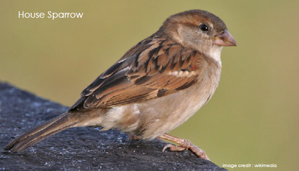 Sparrows of India!