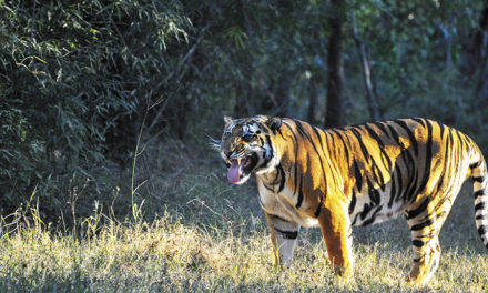 Forest personnel leave for Madhya Pradesh to study tiger behaviour