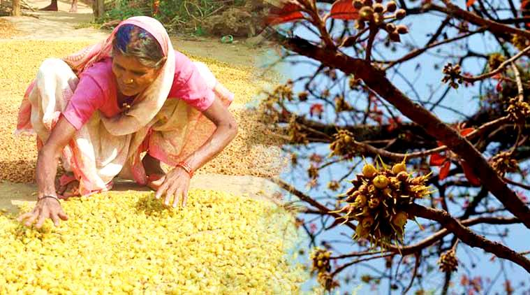 Celebrating Mahua and livelihoods: How to reap benefits from Indian forests