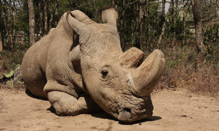 The World's Last Male Northern White Rhino is No More. Now What?