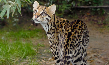 In latest attack on wildlife, FWS erodes protections for endangered animals from developers