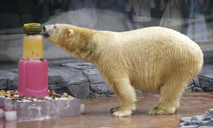 First Polar Bear Born in the Tropics Dies at 27 in Singapore Zoo