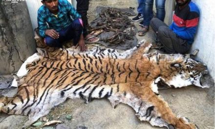 Tiger skin, bones seized from poachers in UP