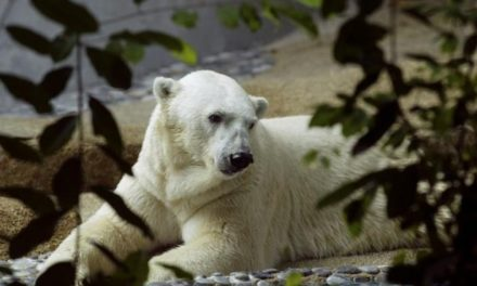 First polar bear born in the tropical dies at 27 in Singapore zoo