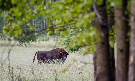 Bison released into the Carpathian Mountains in bid to re-establish iconic species in Romania