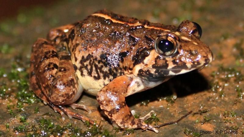 Researchers discover a new species of terrestrial frog in Goa, give it a Konkani name