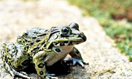 Curb frog poaching, urge activists