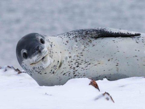 Secret life of an enigmatic Antarctic apex predator
