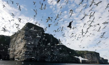 Eerie silence falls on Shetland cliffs that once echoed to seabirds' cries
