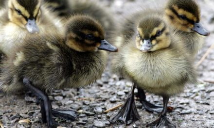 Man who killed heron to save duckling cautioned by police