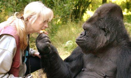 Koko, the gorilla who knew sign language, dies at 46