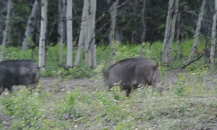 Wild boars on the lam in Yukon subdivision