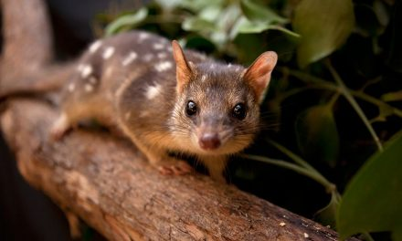 Ecologists try to speed up evolution to save Australian marsupial from toxic toads