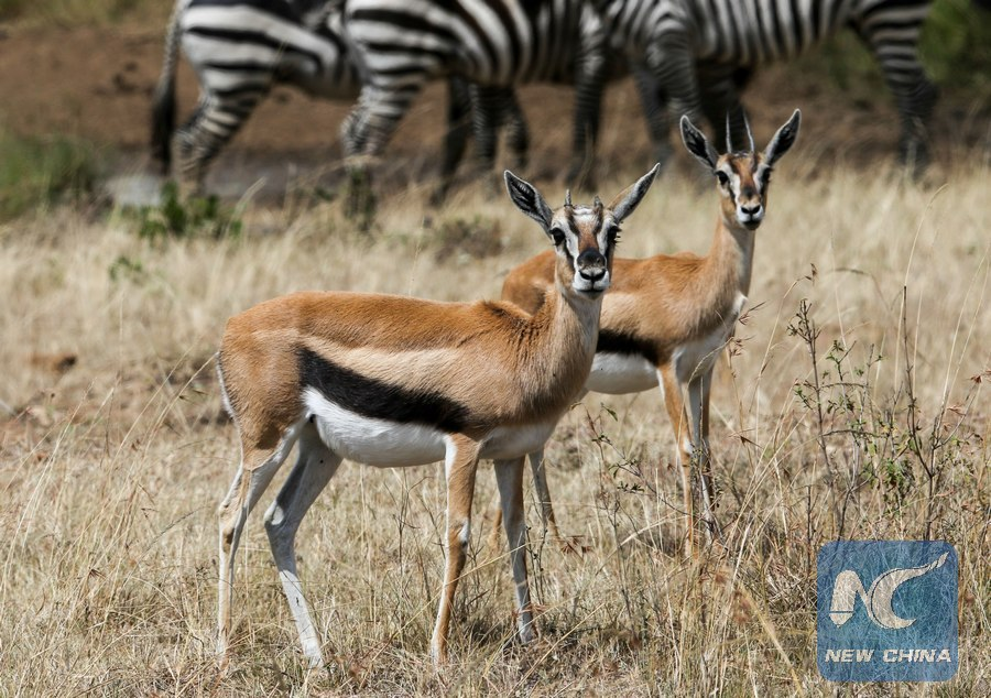 Scientists seek urgent action to save Kenya's wildlife from decline